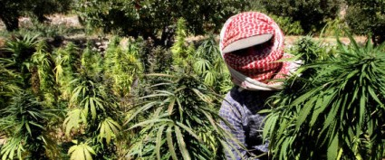 A Lebanese farmer harvests cannabis plan