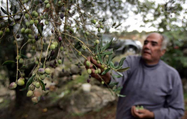 Olives_Lebanon_pic_1