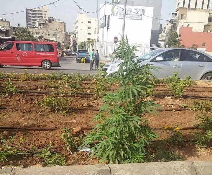 weed dora