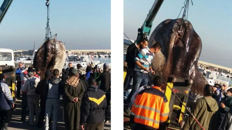 1-Ton Mola Mola Fish Caught by Tripoli Fishermen
