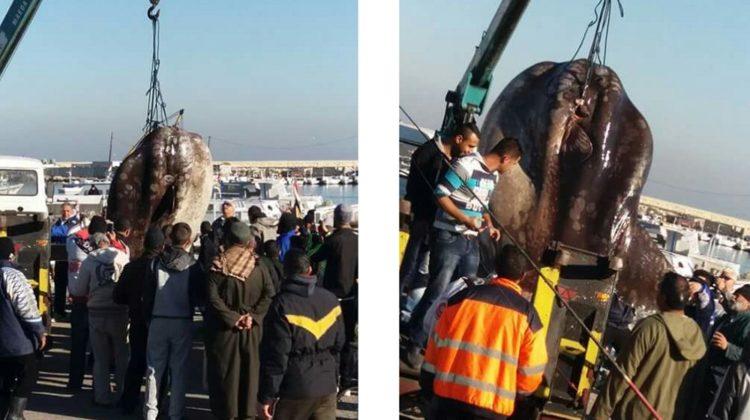 1-Ton Mola Mola Fish Caught by Tripoli Fishermen