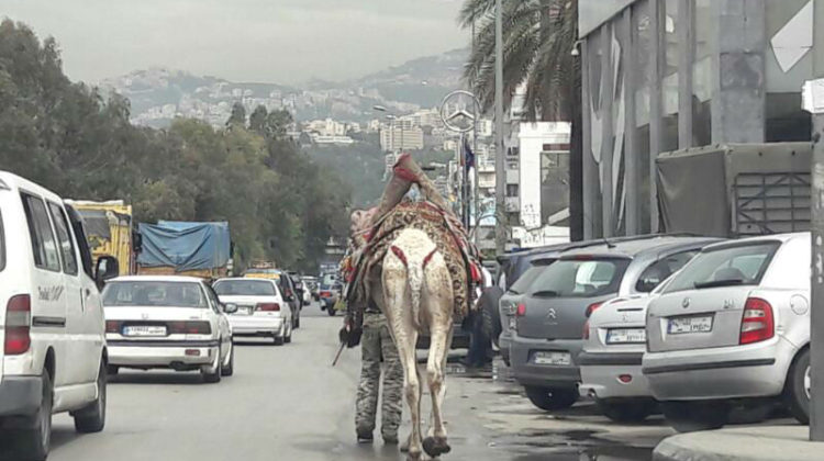 Camel Spotted on Dora Highway