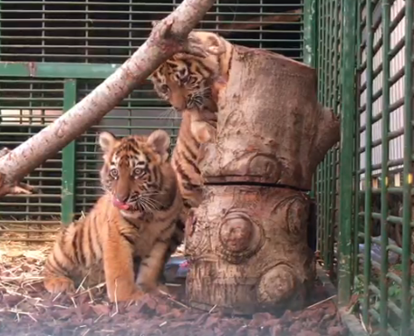 Update on The Three Tigers Cubs Rescued by Animals Lebanon