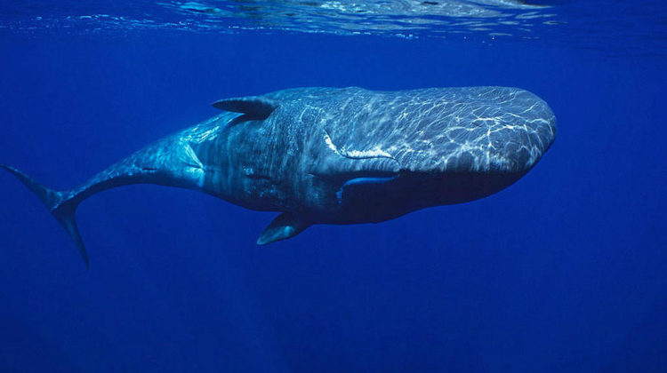 Three Sperm Whales Spotted off the Coast of Tyre