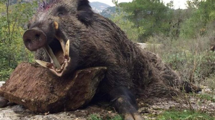 Boar Weighing 300Kg Killed in #Lebanon