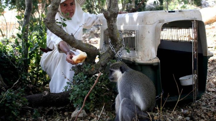 Tachtouch the Monkey Returns to #Lebanon