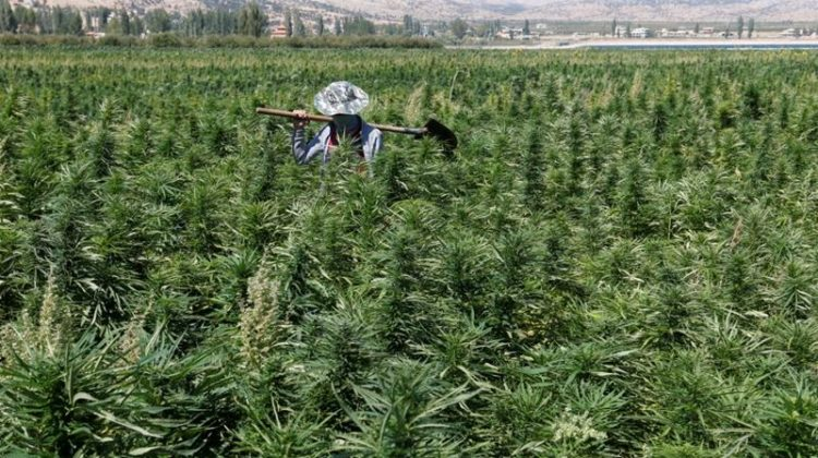 Lebanese Parliament Has Legalized Cultivation of Cannabis for Medical Use